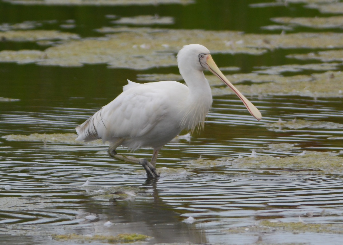 Really soft light helped the Spoonbill shots.