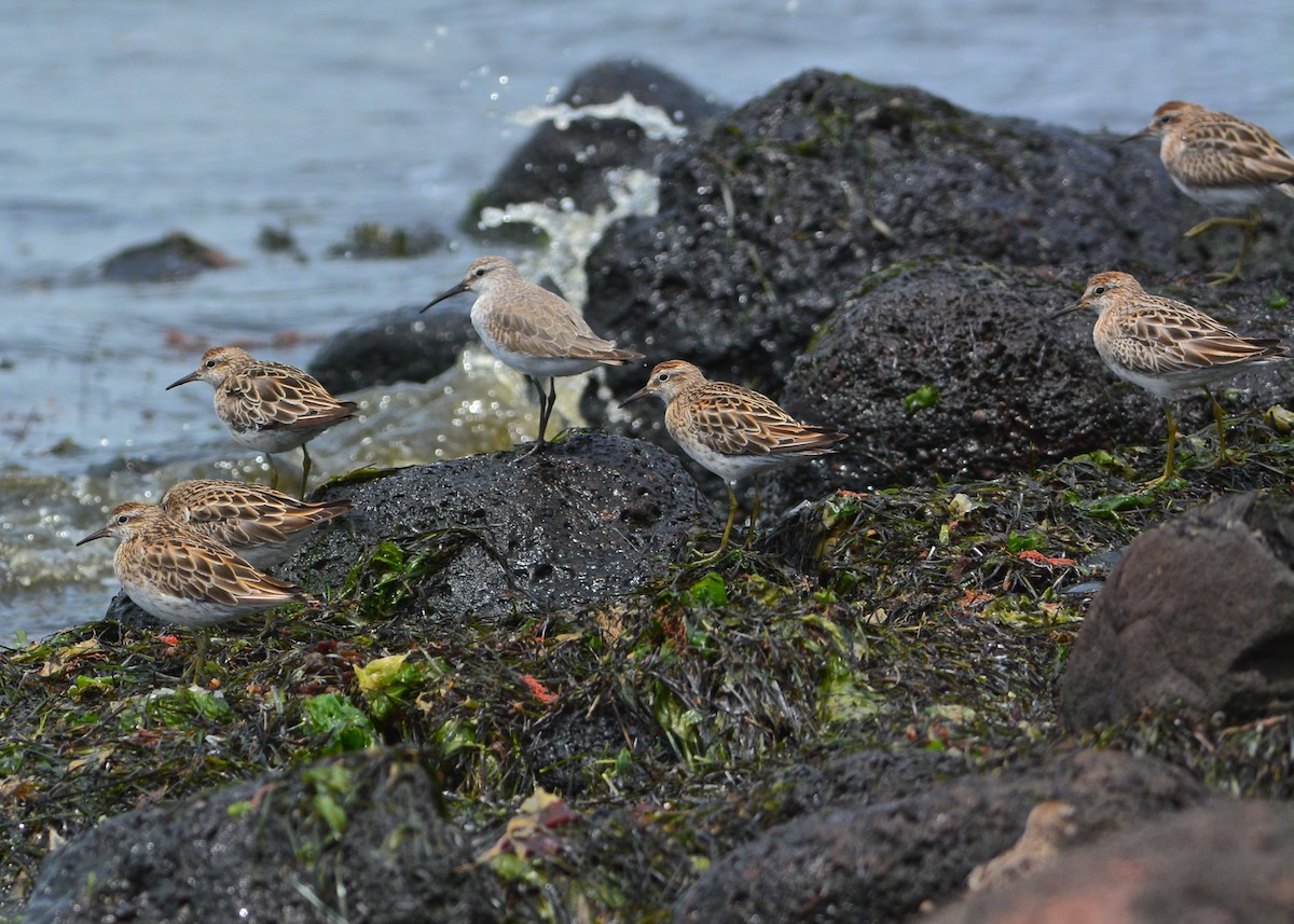 The tide was a bit slow turning and these birds were anxiously waiting for the mudflats to be exposed.
