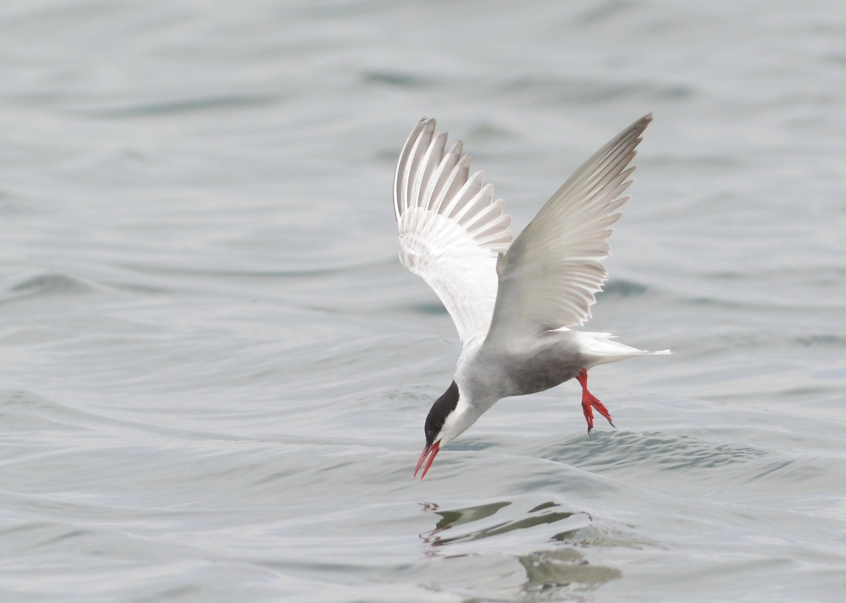 Whiskered Tern at touch down