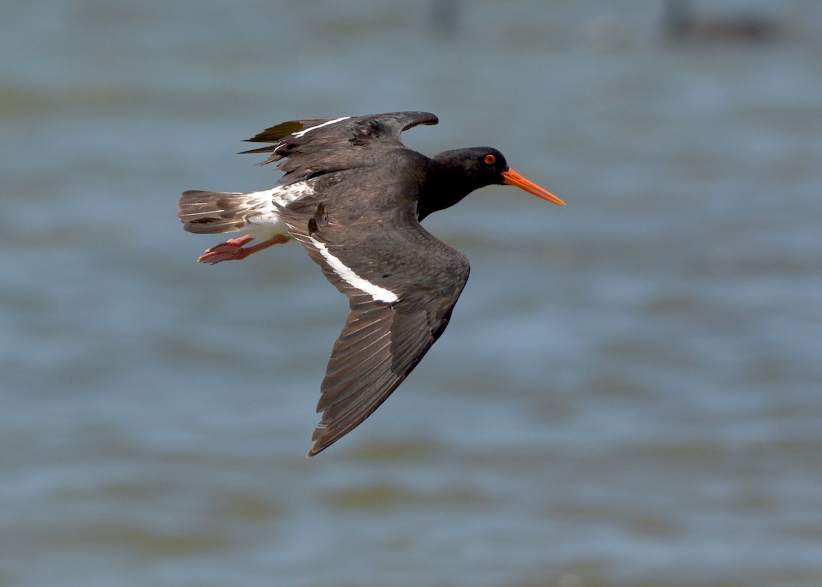 Pied Oystercatcher on final approach