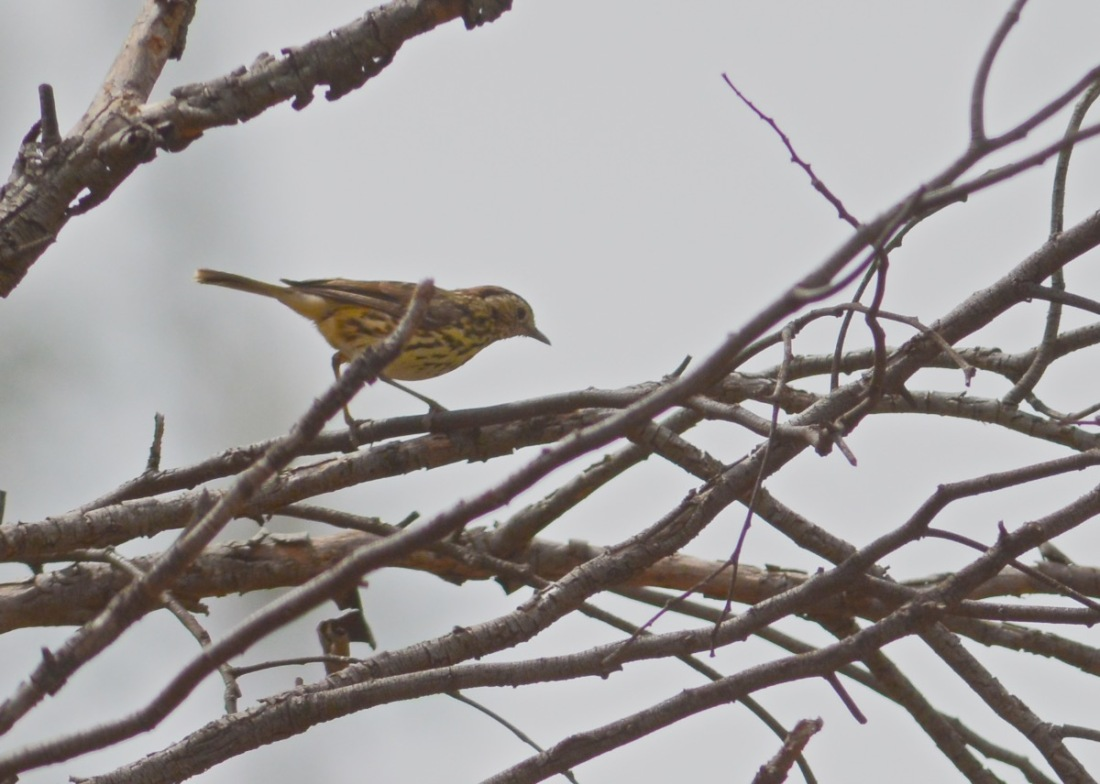 Yes we did see the elusive Speckled Warbler, actually saw a pair. But....