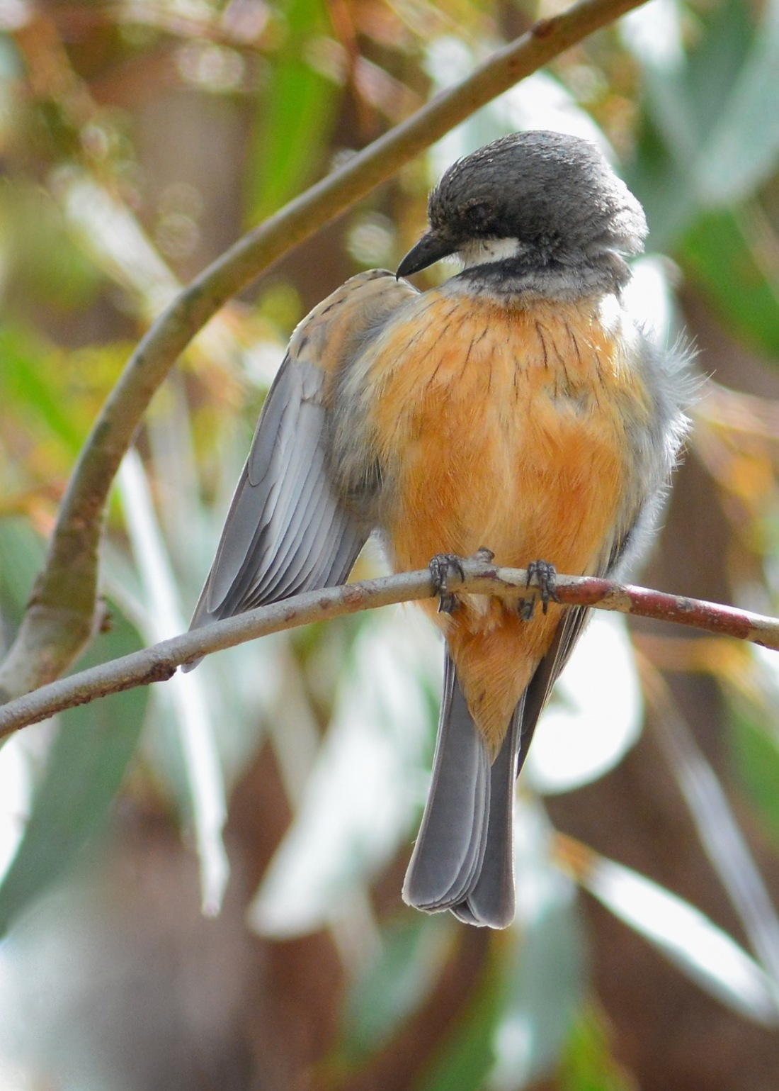Not only does he make the most magnificent tune, he looks a treat preening. Rufous Whistler, male.