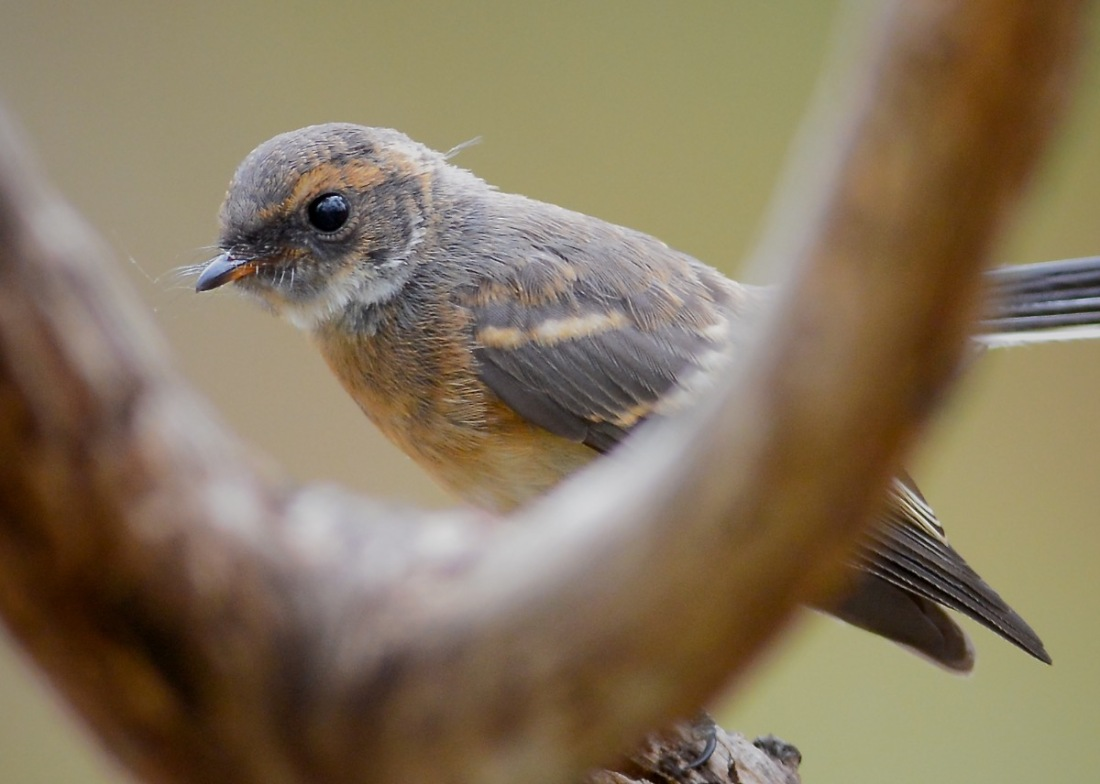 When I first spotted this I was all excited I thought it might be a Rufous Fantail, but no, its a juvenile  Grey.