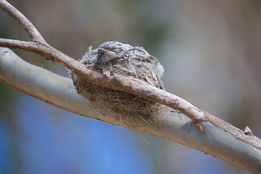 What's this.  A nest? Two young nestlings snuggled down in the 'nest'