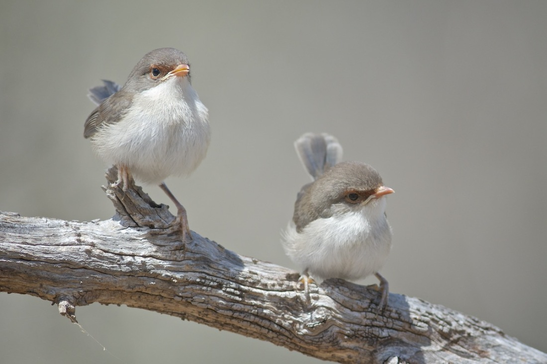 Recently fledged Superb Fairy Wrens. Look at the tiny tails.