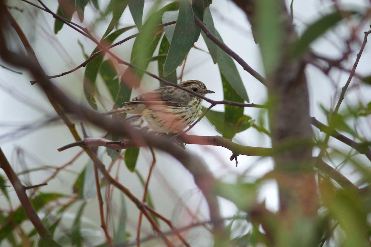 That Speckled Warbler.