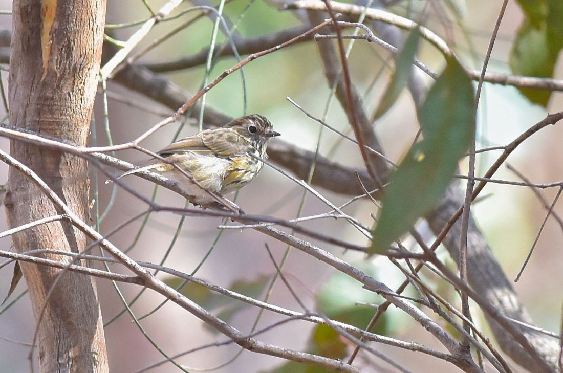 Just in case you thought I was laying down on the job. We did locate a Speckled Warbler. Best shot so far. Sigh!