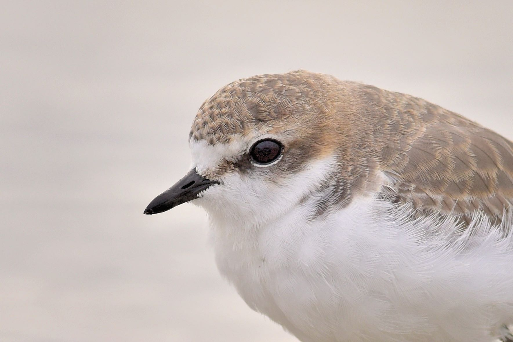 plover chat Plover-net, often misspelled plovernet, was a popular bulletin board system in the early 1980s hosted in new york state and originally owned and operated by a.