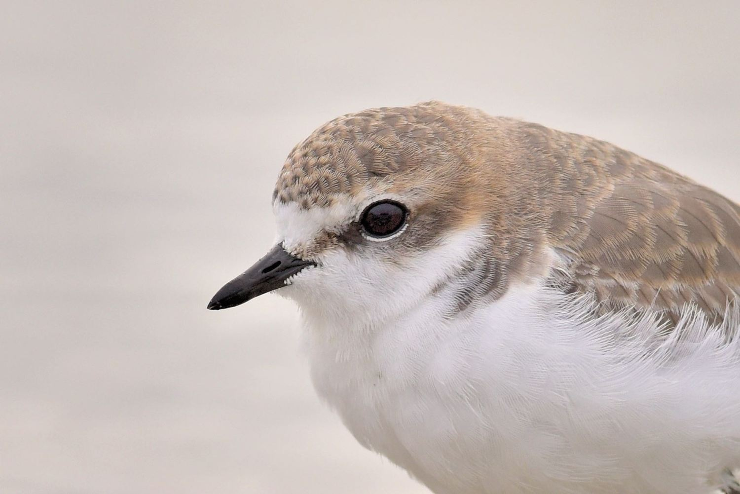 Red-capped Plover, female.  Several of these working on the mudflats on the most overcast of days.
