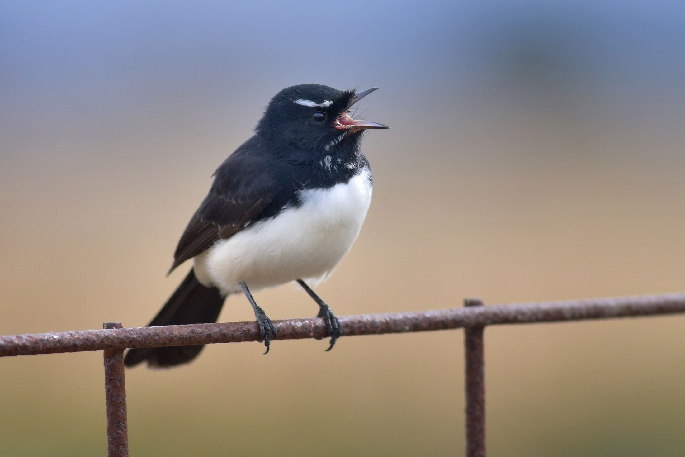 how to get rid of willy wagtail