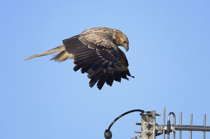 Whistling Kite on Approach.