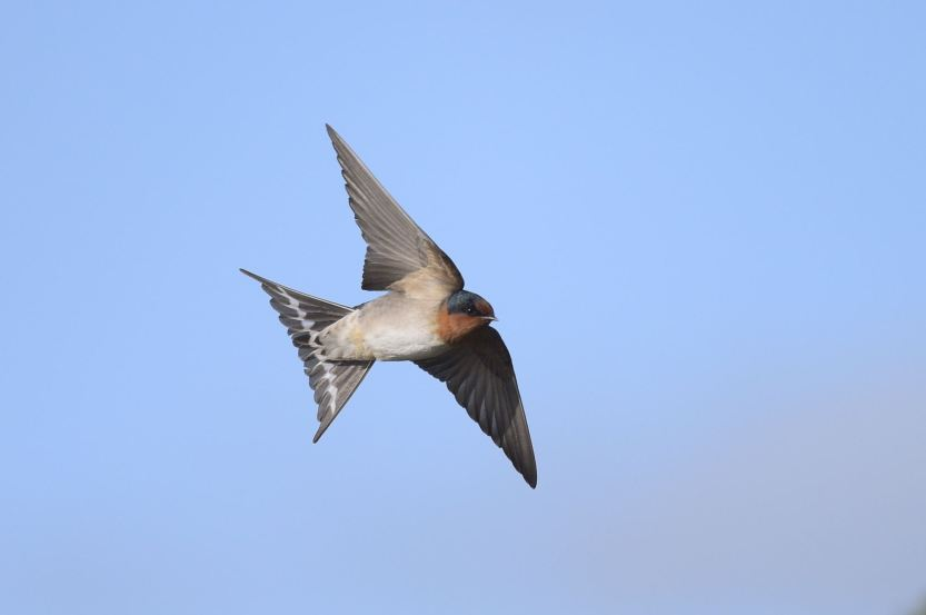 My Mate Rodger does the best Swallow inflight. Me, its all a learning experience