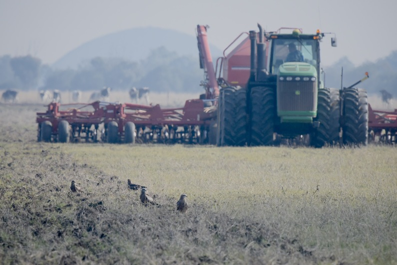 Just a handful of the thirty or more that were working with the tractor. Brown Quail are on the menu. Why fly about when you can sit and wait for the tractor to disturb the prey.