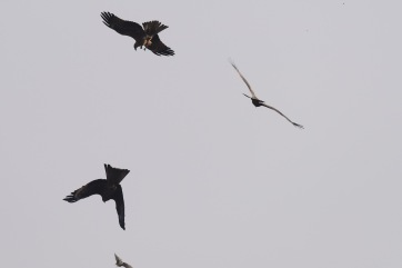Prey, perhaps a quail, falls to earth with the thwarted kites in pursuit.