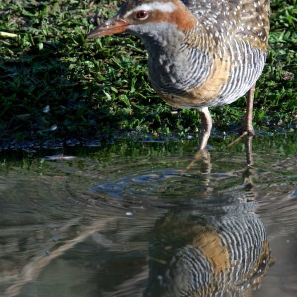 Buff-banded Rail in action