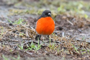 This one skipped down the grass verge until it was so close I couldn't get focus.