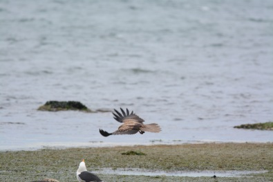 Low over the rocks, riding on the strong north wind, the Kite made its first pass at snatching the food.