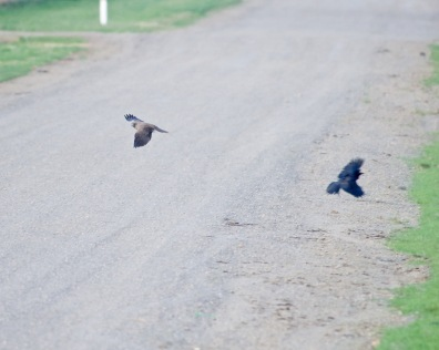 Hapless Little Raven hopelessly outclassed.