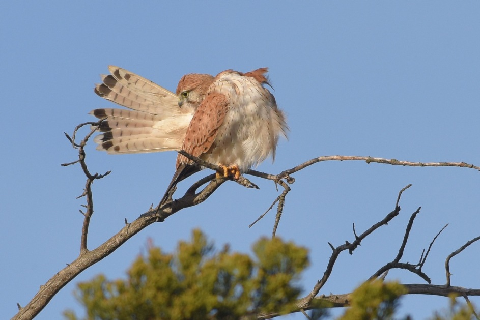 Australian Kestrel, tail preening in the sunshine