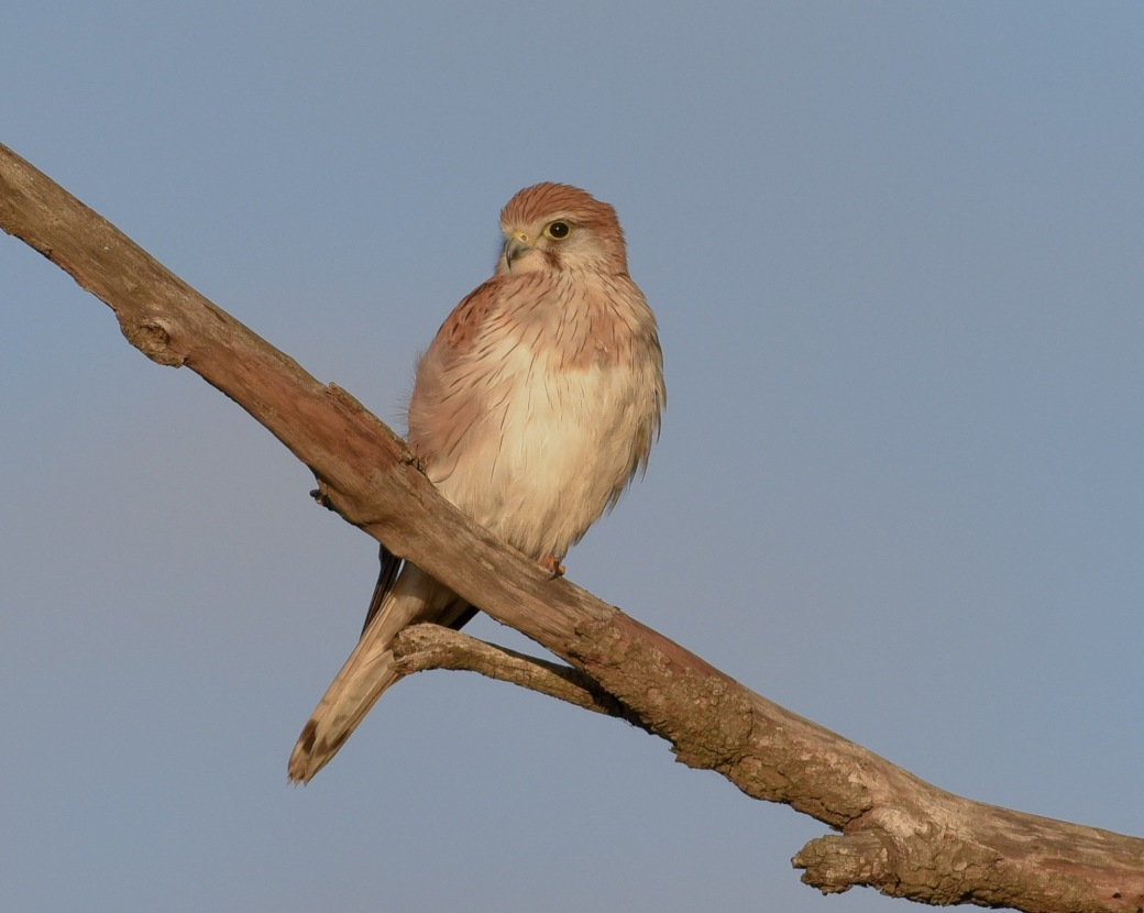 Female Australian Kestrel