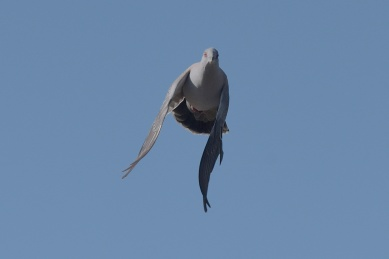 Crested Pigeon on the wing