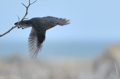 Fantail Cuckoo, airborne