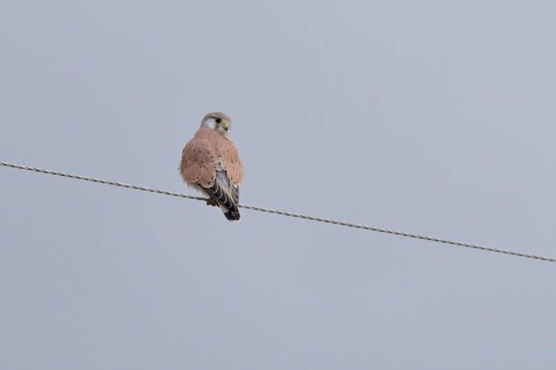 A Kestrel on the power lines on the way in. This is a male, the grey-head looks amazing. The first male I've seen this season.