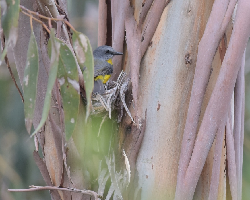 Nestling nicely among the bark and sheltered by some wattle
