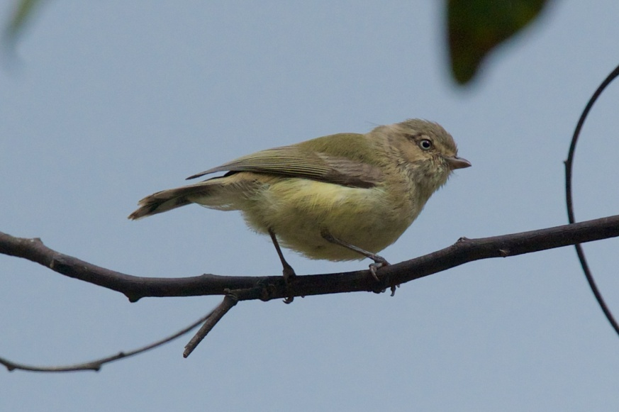Our very smallest bird. A Weebill.