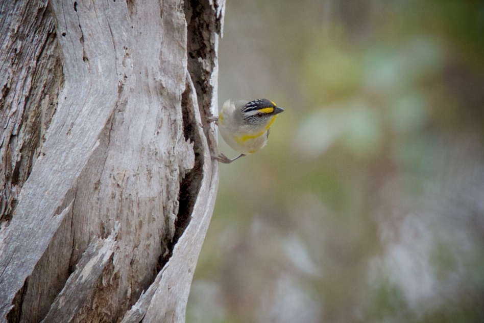 Always a pleasure to find a Pardalote