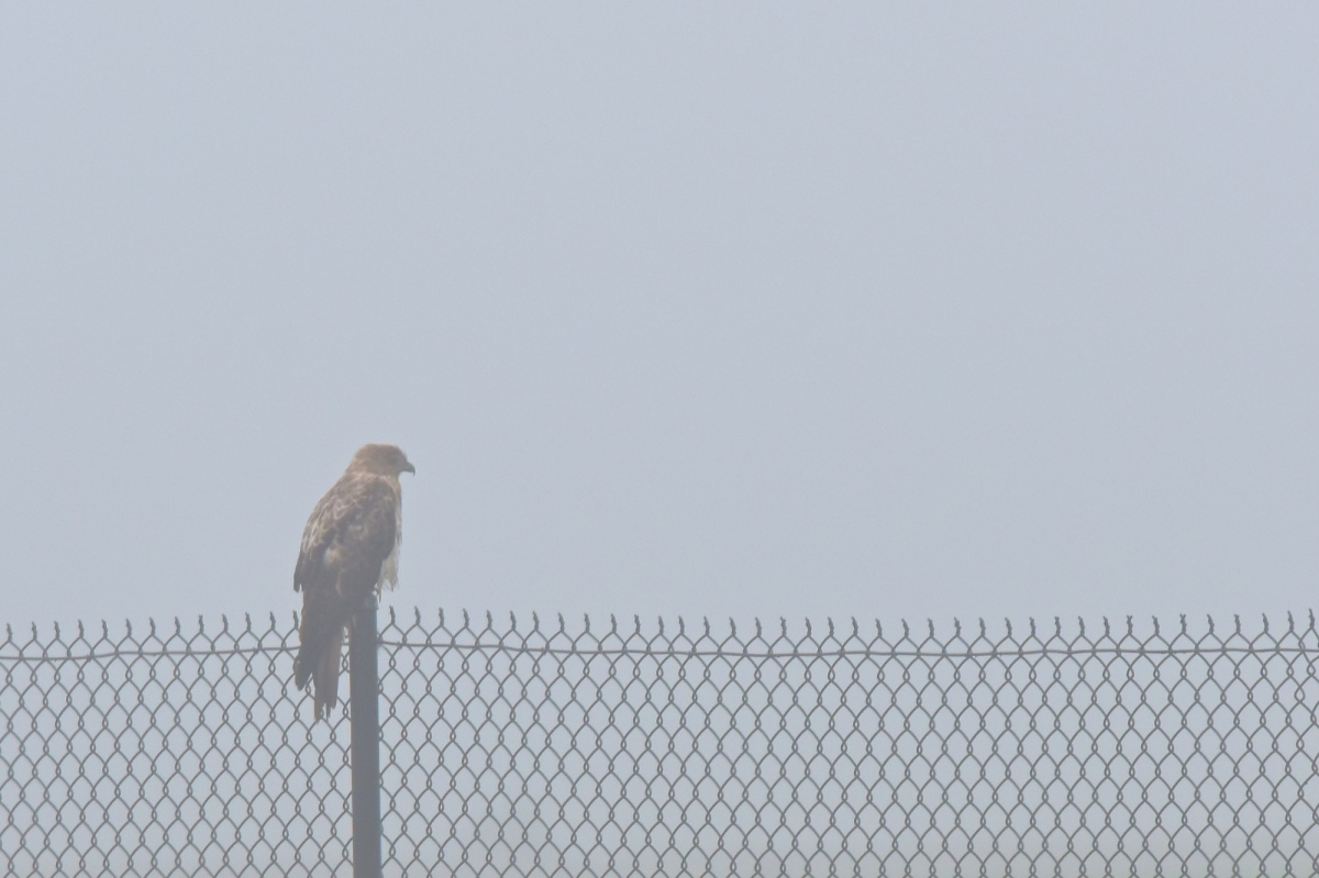 Whistling Kite, waiting for the fog to lift