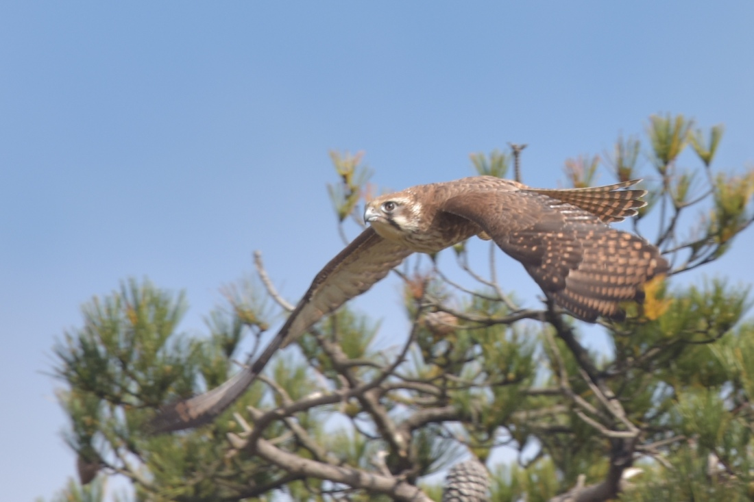 To wing. Brown Falcon on a mission