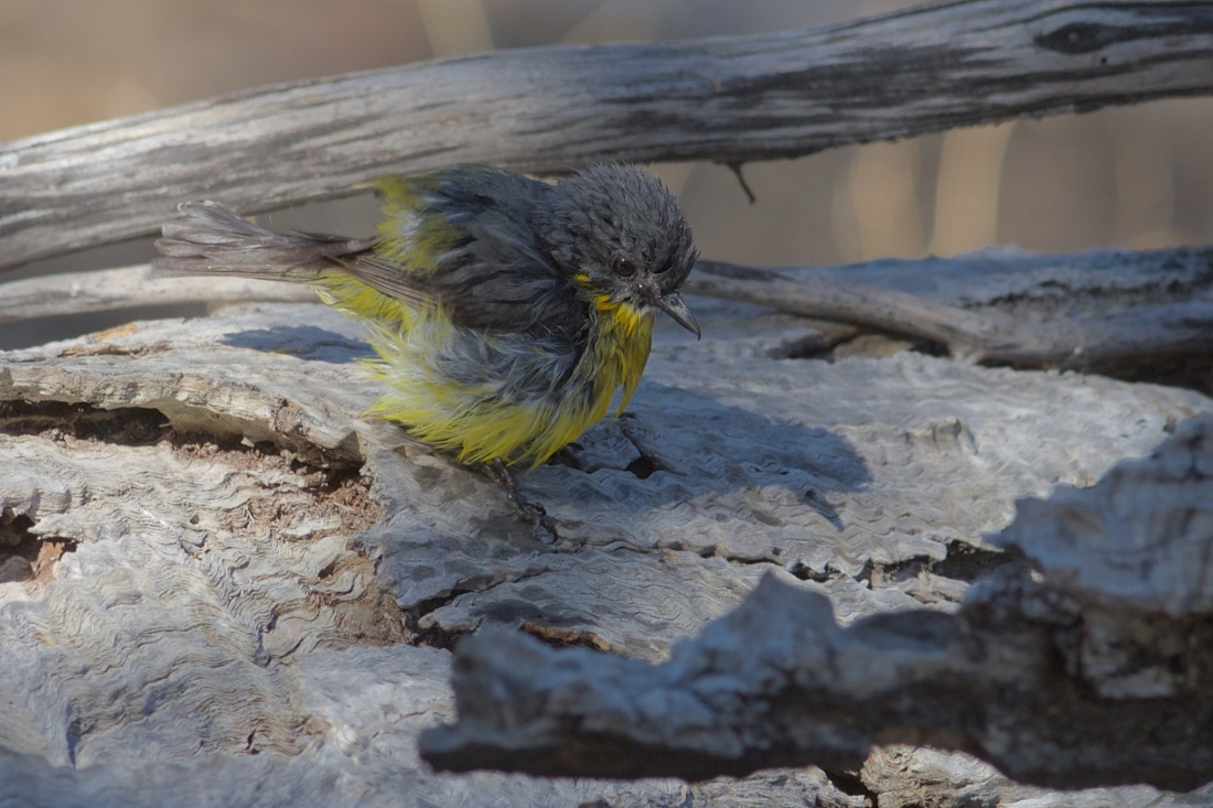 Eastern Yellow Robin, soaked, not stirred