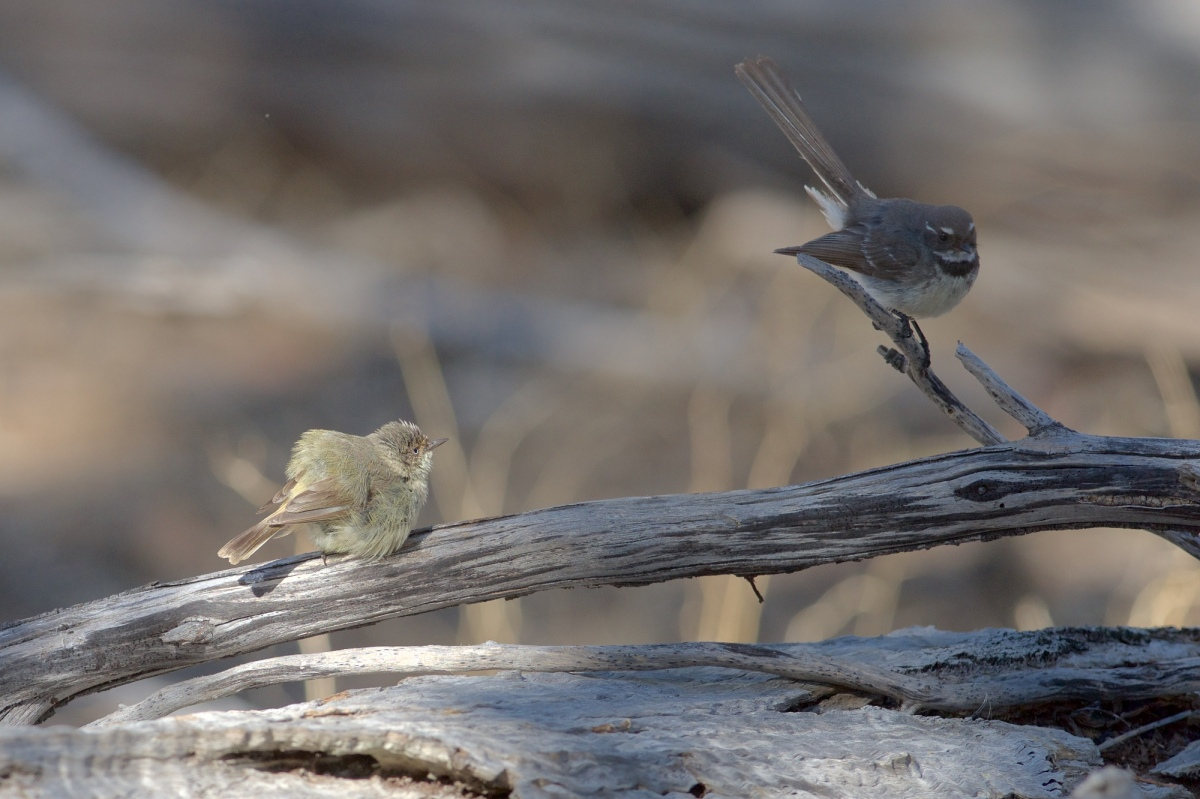 Weebill drying off with Grey Fantail being typically hyper-active