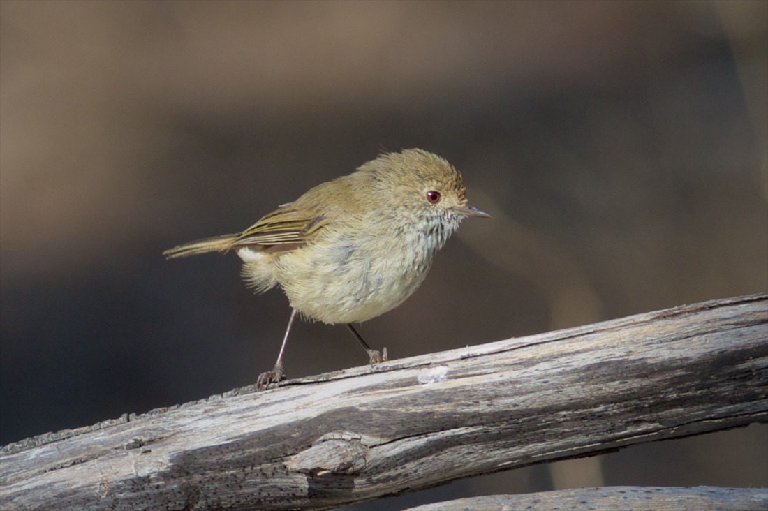 Brown Thornbill.
