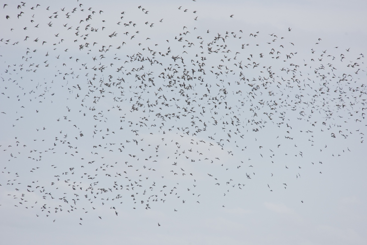 Just a tiny portion of the huge numbers of birds that came down to feed.