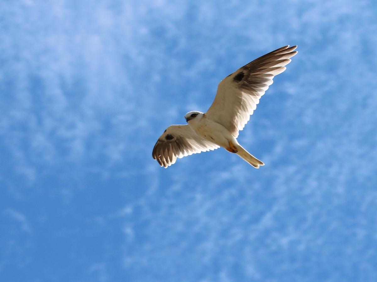Nina's lovely shot of a Juvenile Black-shouldered Kite. And Sunshine. So jealous. Thanks Nina for sharing