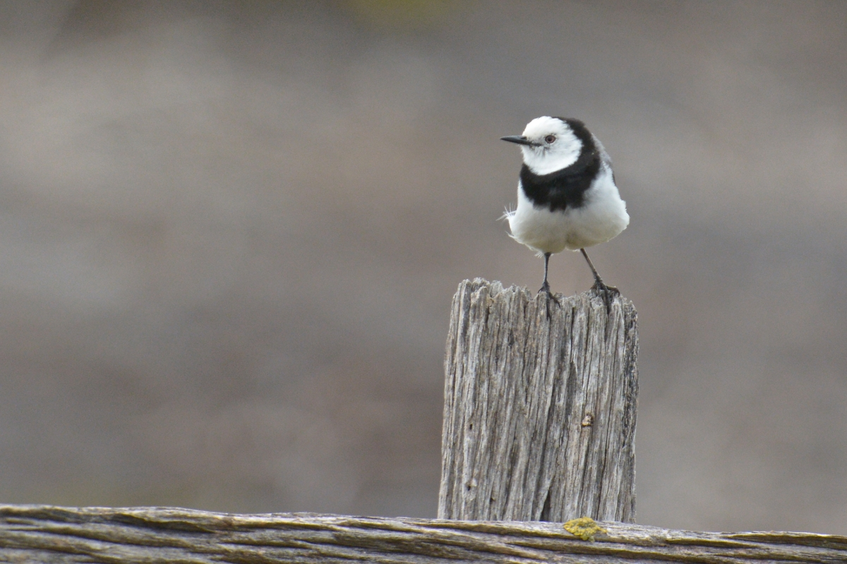 White-fronted Chat.