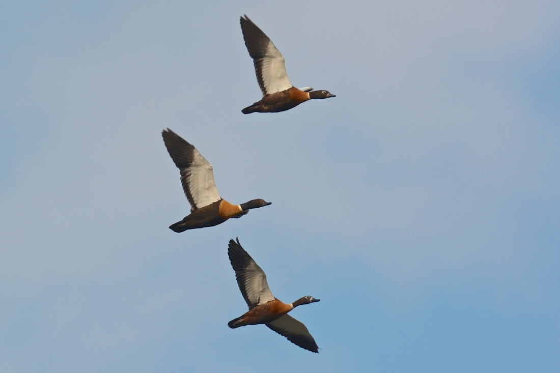 Australian Shelducks have moutled out and now have nice new flight feathers to put to good use.
