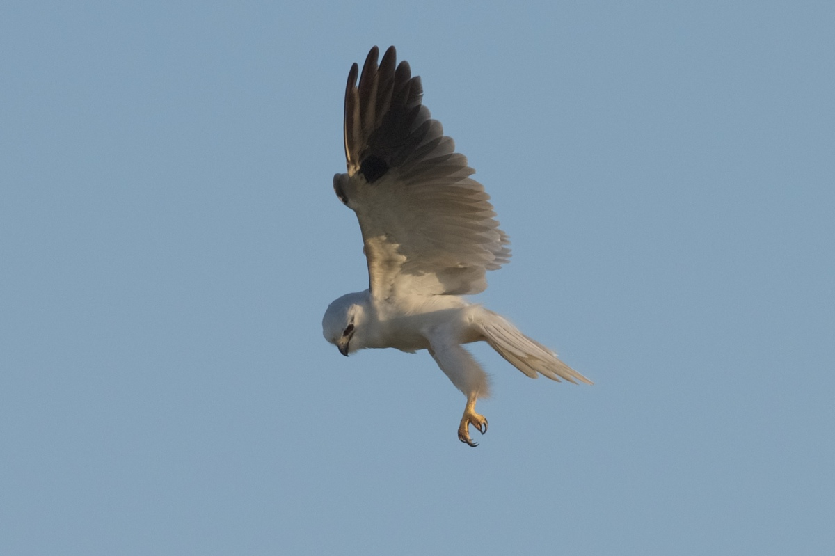 Such a graceful bird at hover.