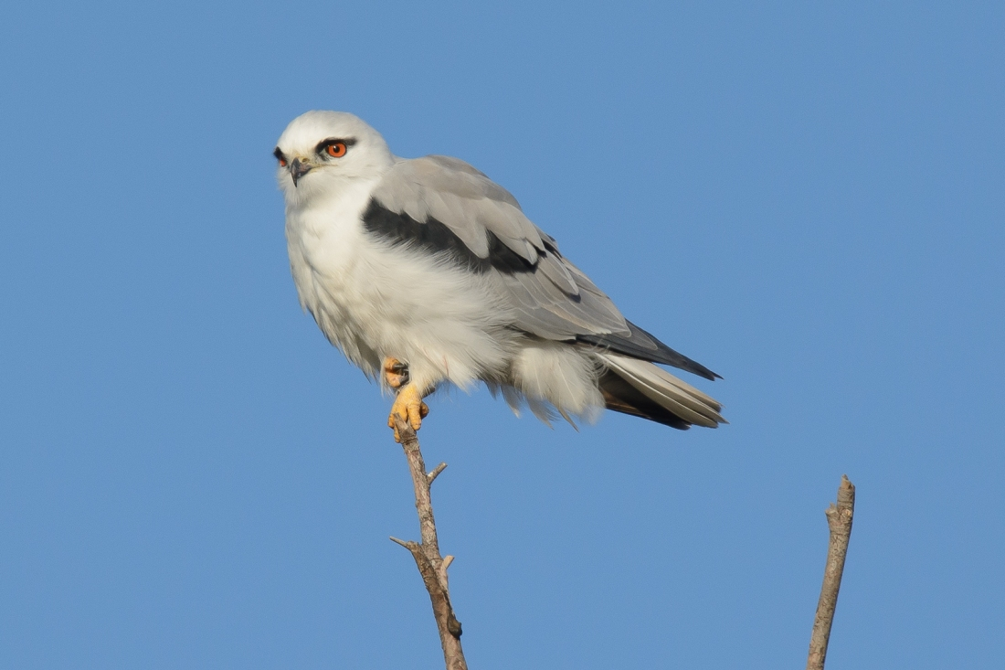 Black-shouldered Kite.