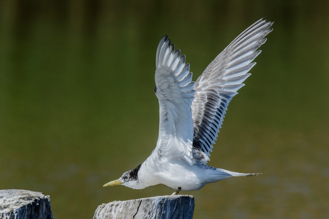Crested Tern, juvenile, on a wing sretch, while waiting for Mum to deliver food