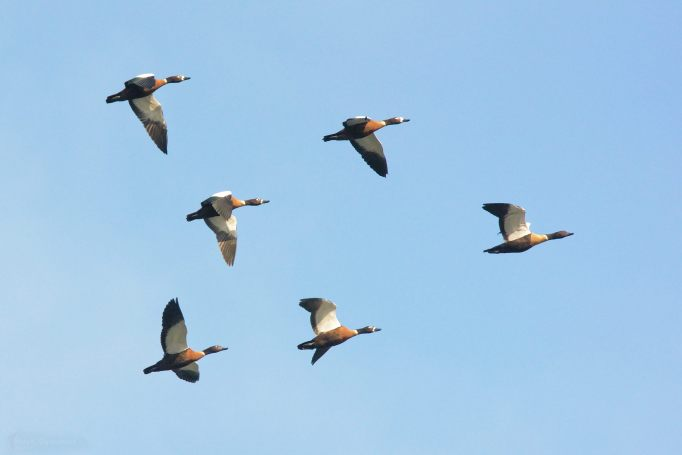 Ducks in formation