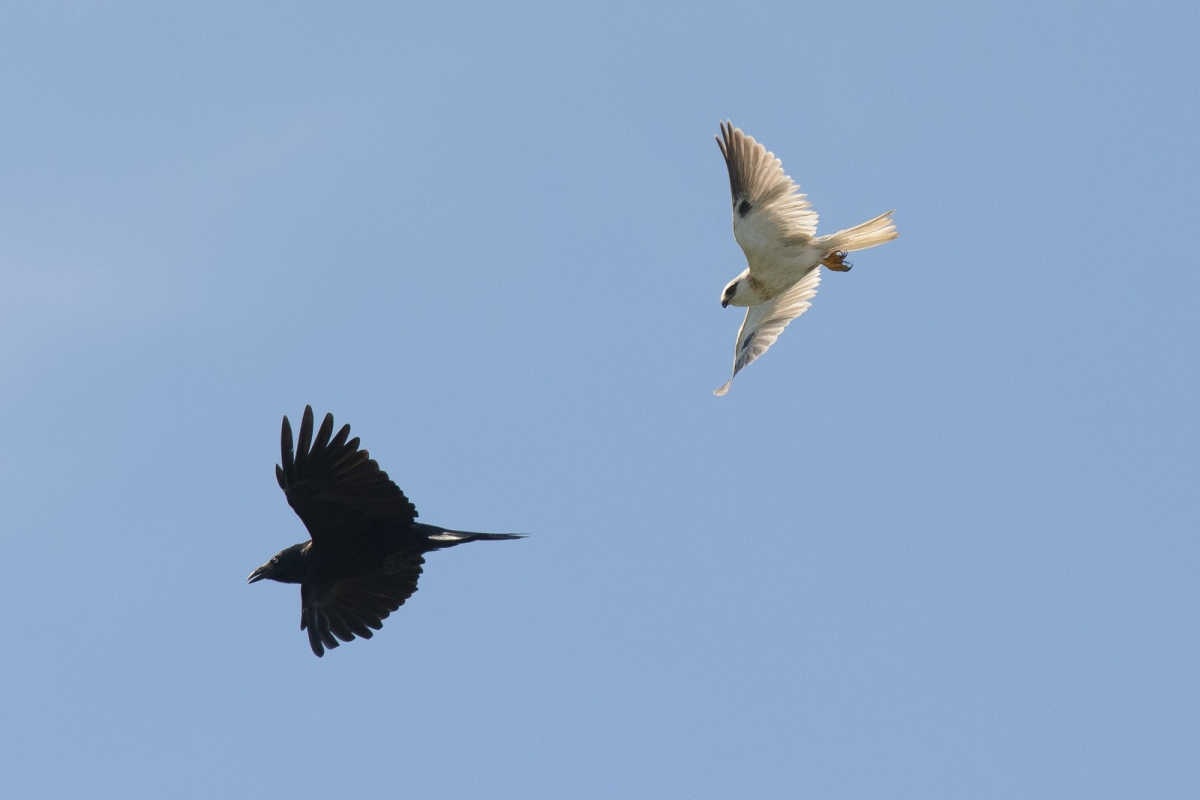 Black-shouldered Kite, in pursuit of a really annoying Raven
