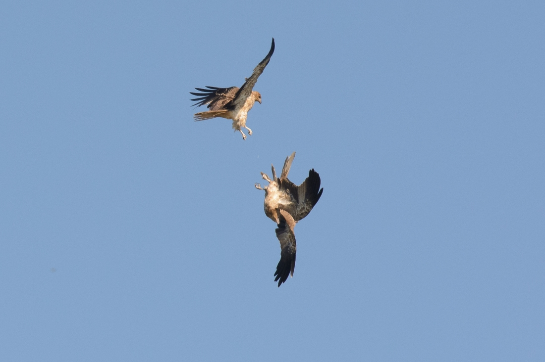 Whistling Kites at play