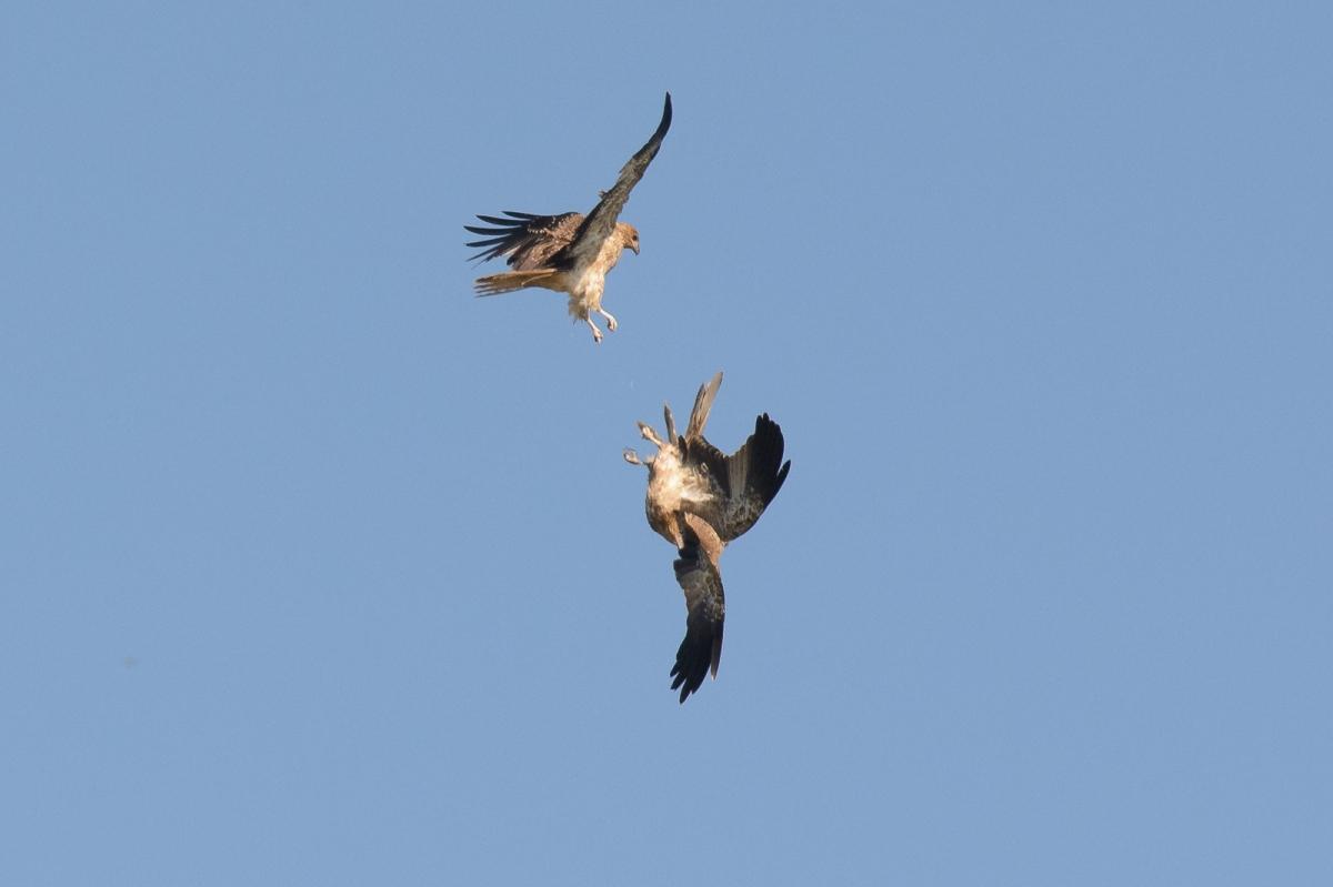 Whistling Kites at play