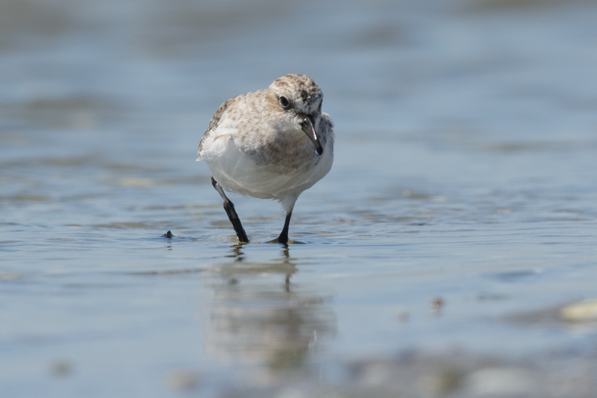 Down at the beach, the Red-necked Stints are really putting on the weight now.