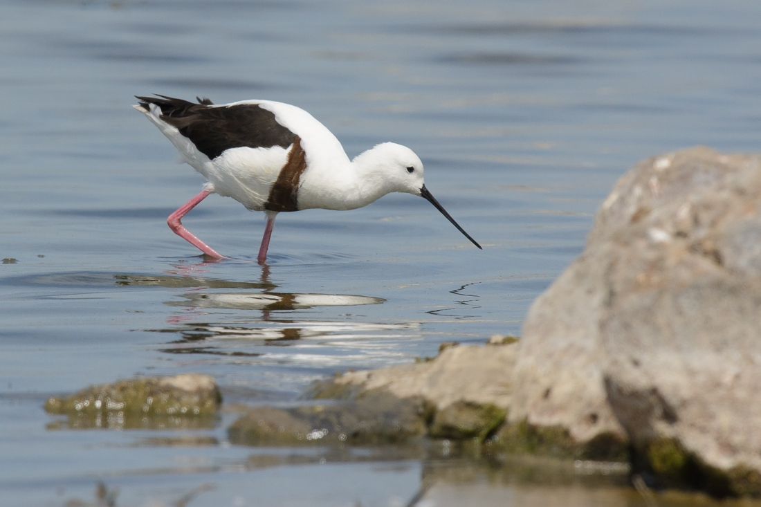 A nice find. Banded Stilt
