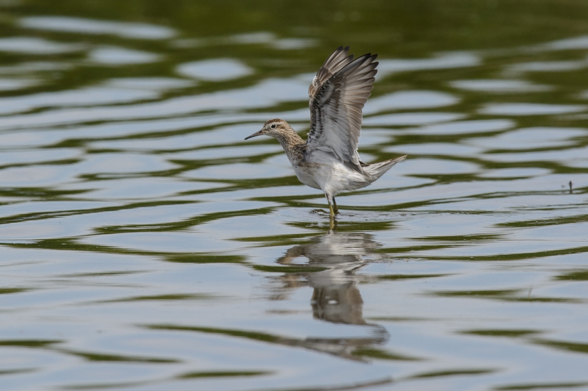 Sharp-trailed Sandpiper. Trialling the travelling equipment.