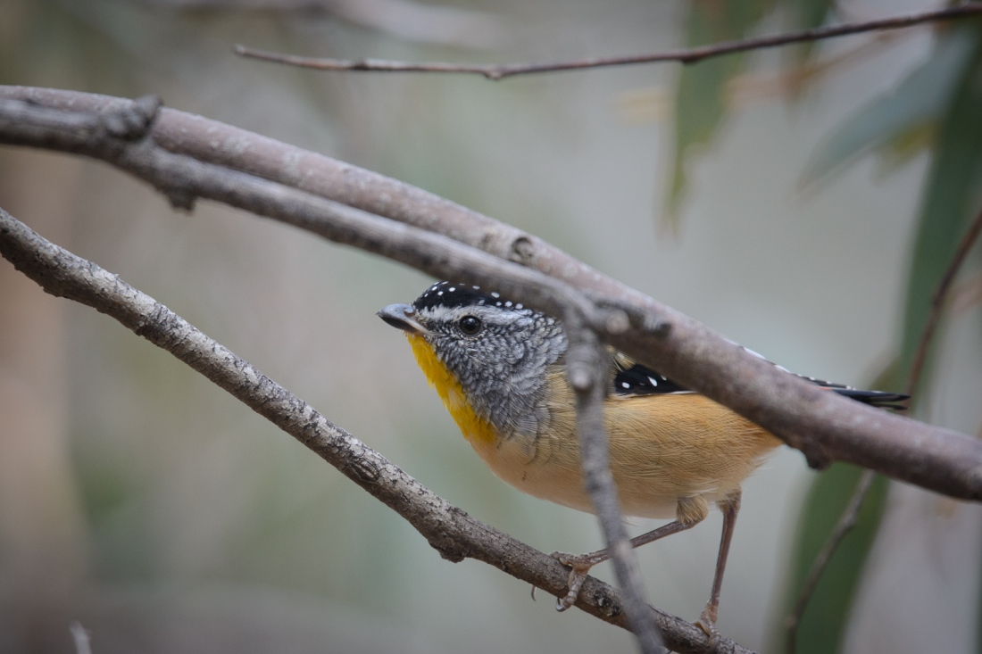 Peek-a-boo. Not often easy to find these lovely little birds in the open.